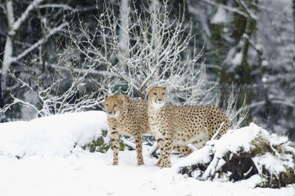 H_orig_cheetah_snow_winter_gal