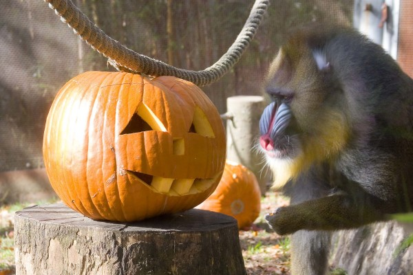 A male mandrillchecks out a jack-o-lantern at the Oregon Zoo.