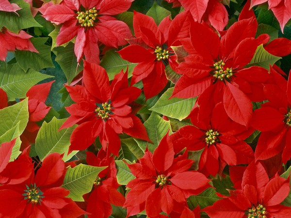 beautiful_poinsettias