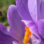 A-bee-on-a-crocus-in-Kew--001