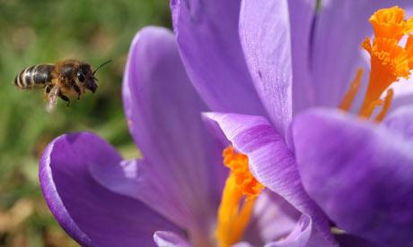 A-bee-on-a-crocus-in-Kew--001