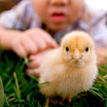 should-you-bring-home-a-bunny-or-baby-chick-this-easter-589x393