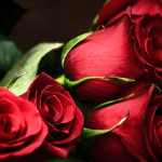 Red-Roses443-600x375