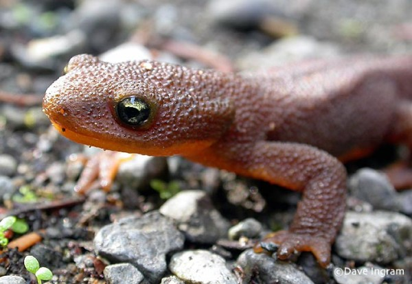 rough-skinned_newt2